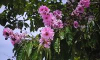 banaba_rostlina