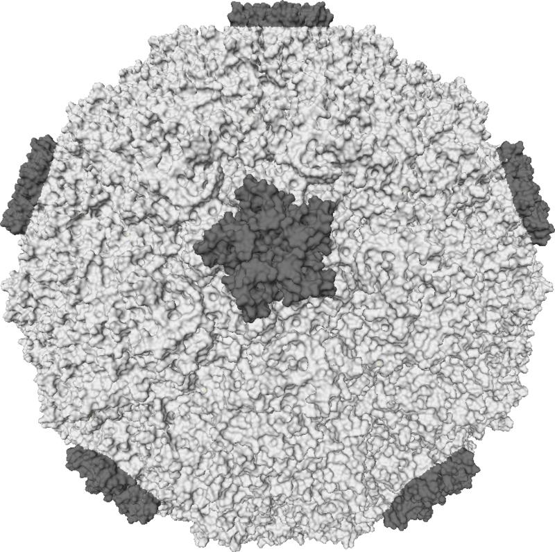 800px-Rhinovirus